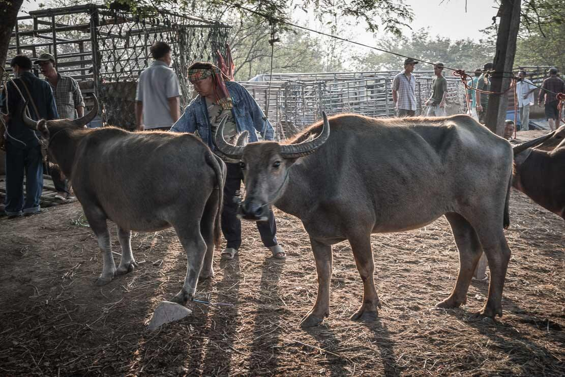 Sanpatong water buffalo market near Chiang Mai