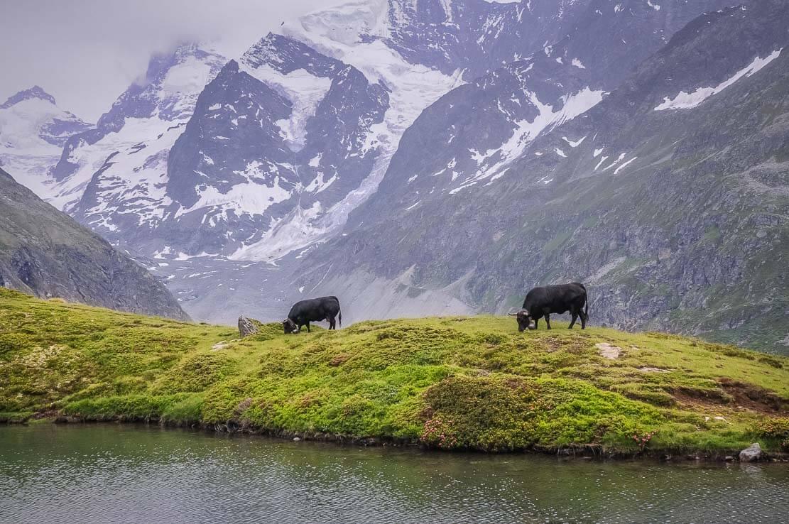Lac d'Arpitettaz et ses Vaches d'Herens