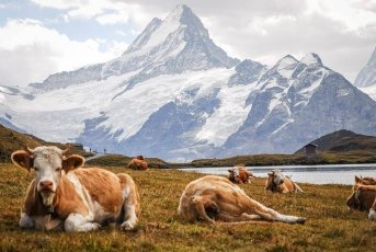 Simmental cows, hike in Switzerland in Grindelwald