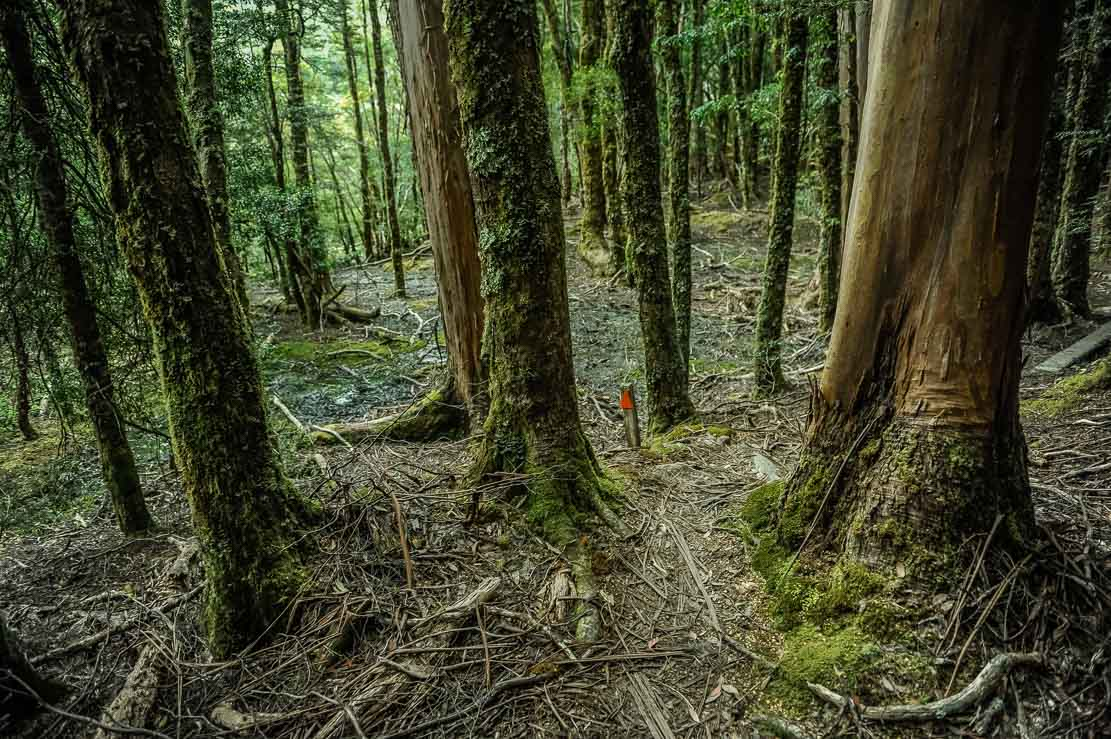 Crossing the thick moss-covered forest on our way from Bert Nichols Hut at Windy Ridge to Pine Valley Hut