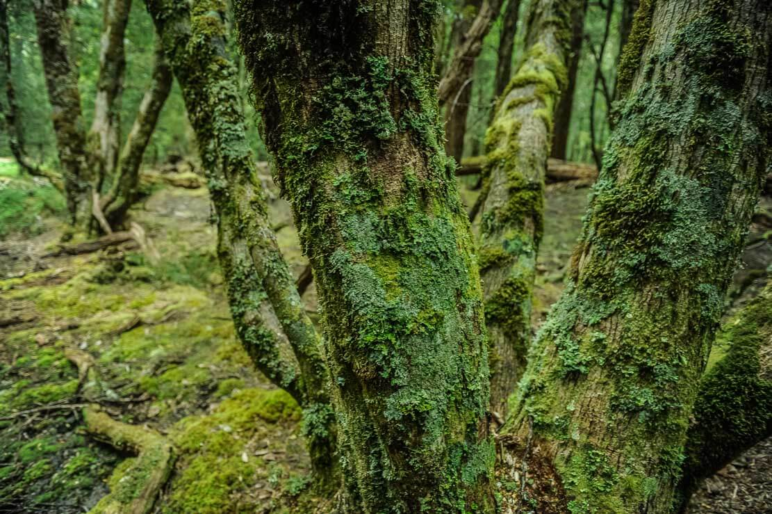 Pine Valley forest covered with brightly-green soft moss, lichen and fungi
