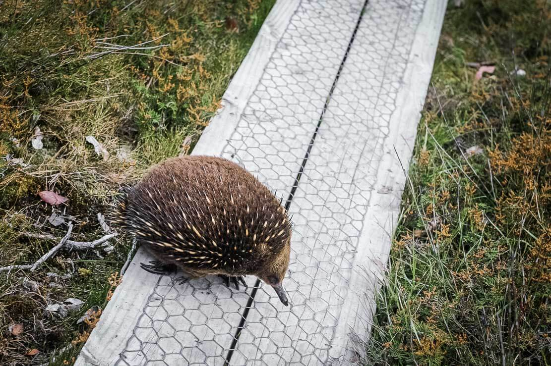 Our encounter with echidna near New Pelion Hut