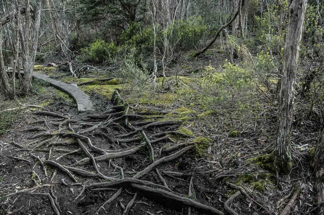 Going through thick forests on Day 4 of Overland Track