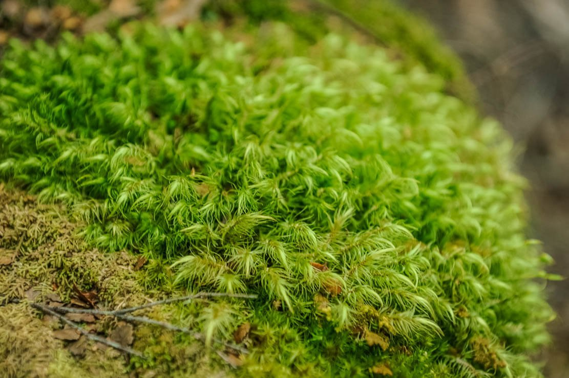 Bright green moss of Overland Track in Tasmania
