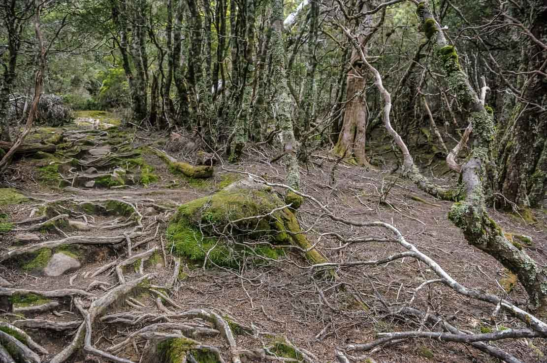 We come across many forests during our hiking the Overland Track in Tasmania