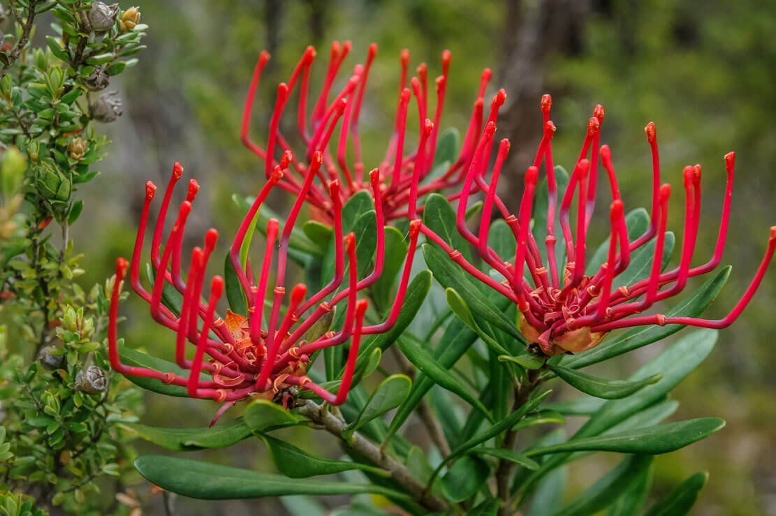 Beautiful plants we came across on Day 5 of our Overland Track