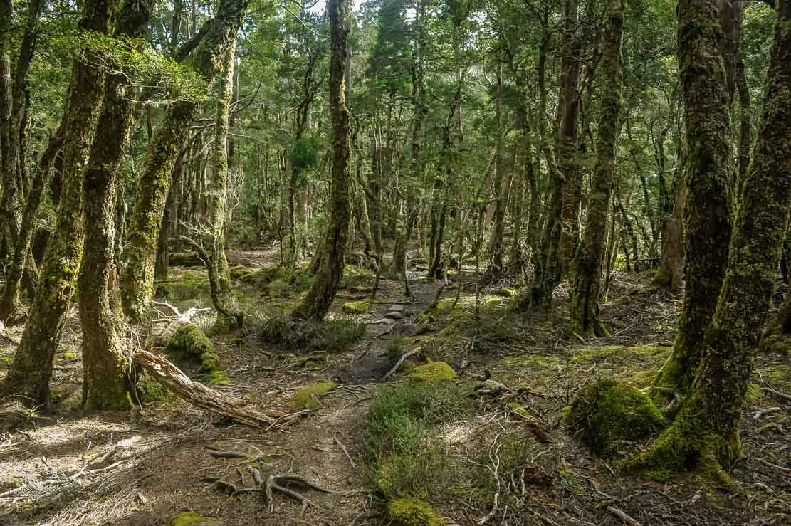 Moss-covered forests on the way to Bert Nichols Hut at Windy Ridge