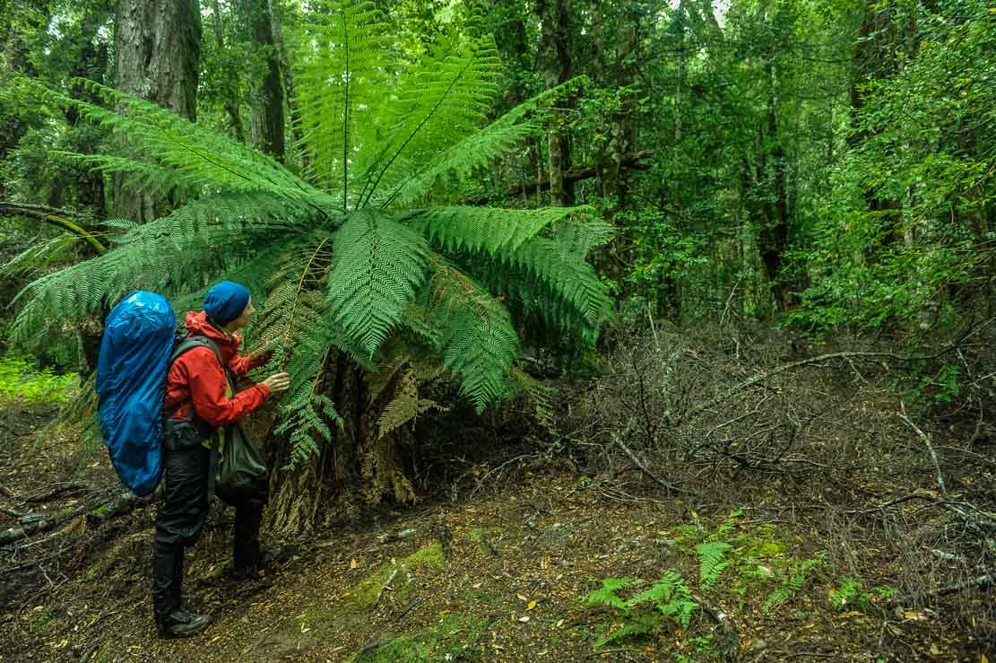 Giant ferns on our way to Lake St Clair visitor centre at Cynthia Bay
