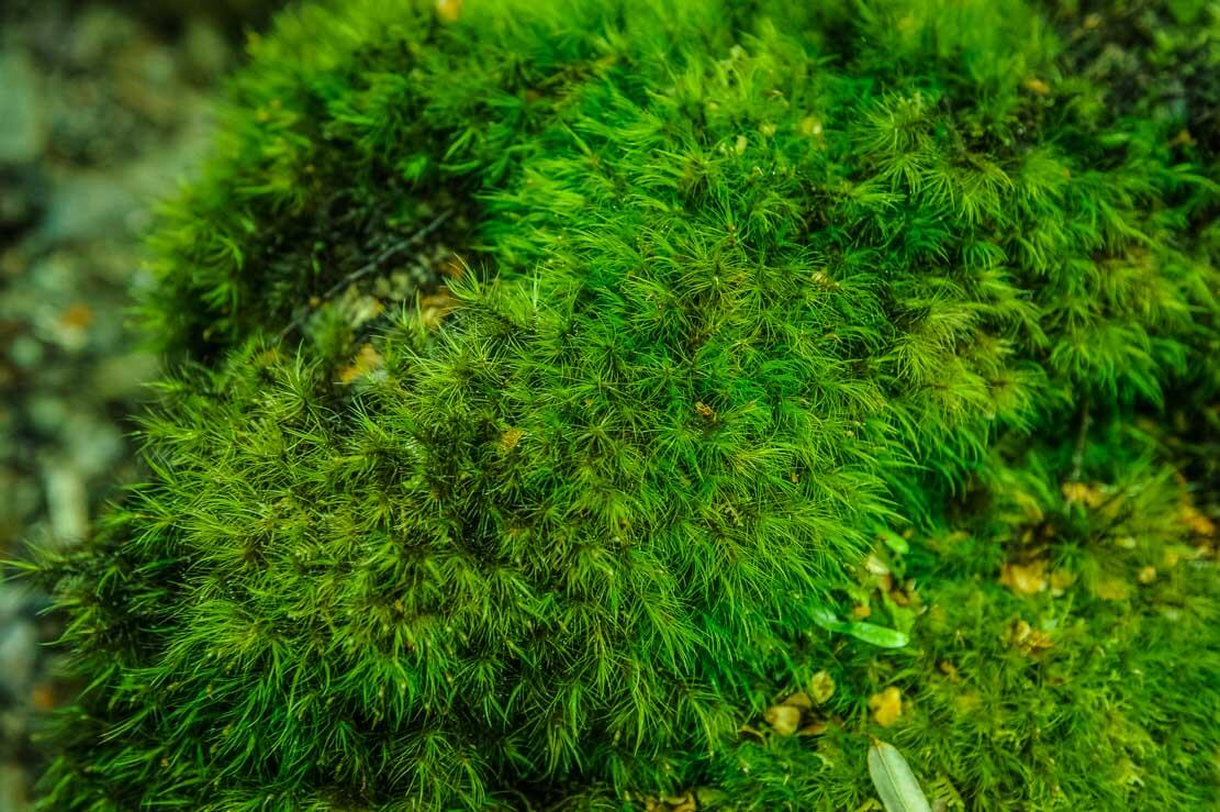 Bright-green moss of Pine Valley