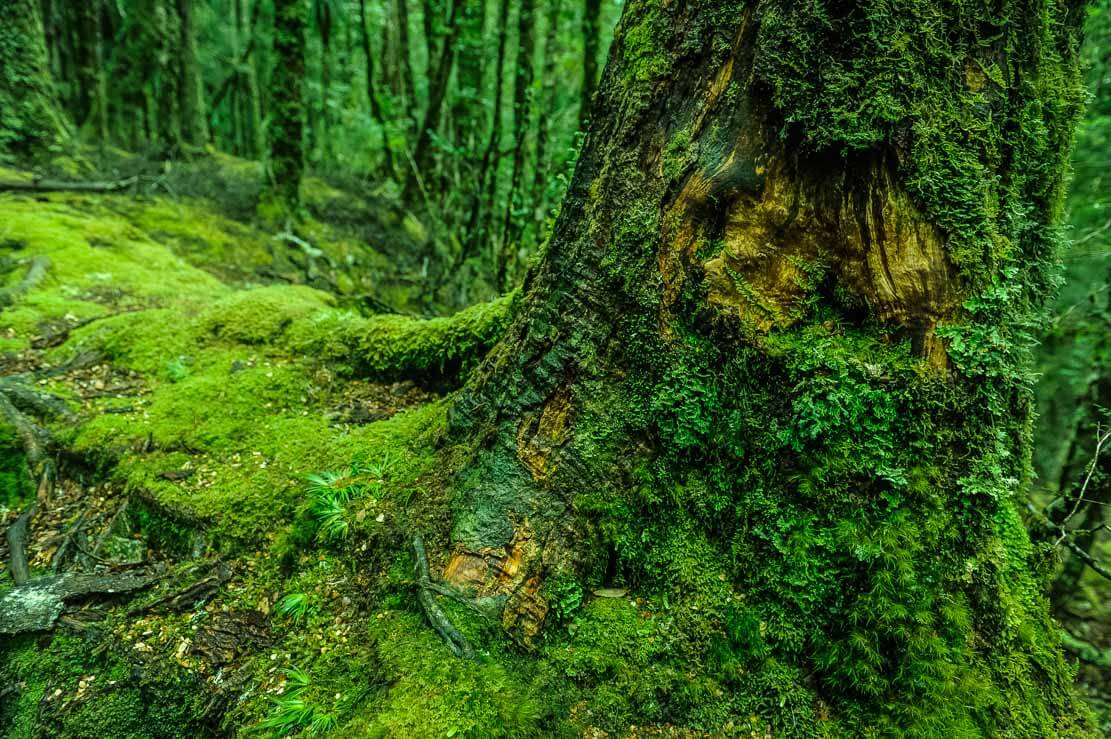 Enchanted forest of Pine Valley covered in bright-green moss
