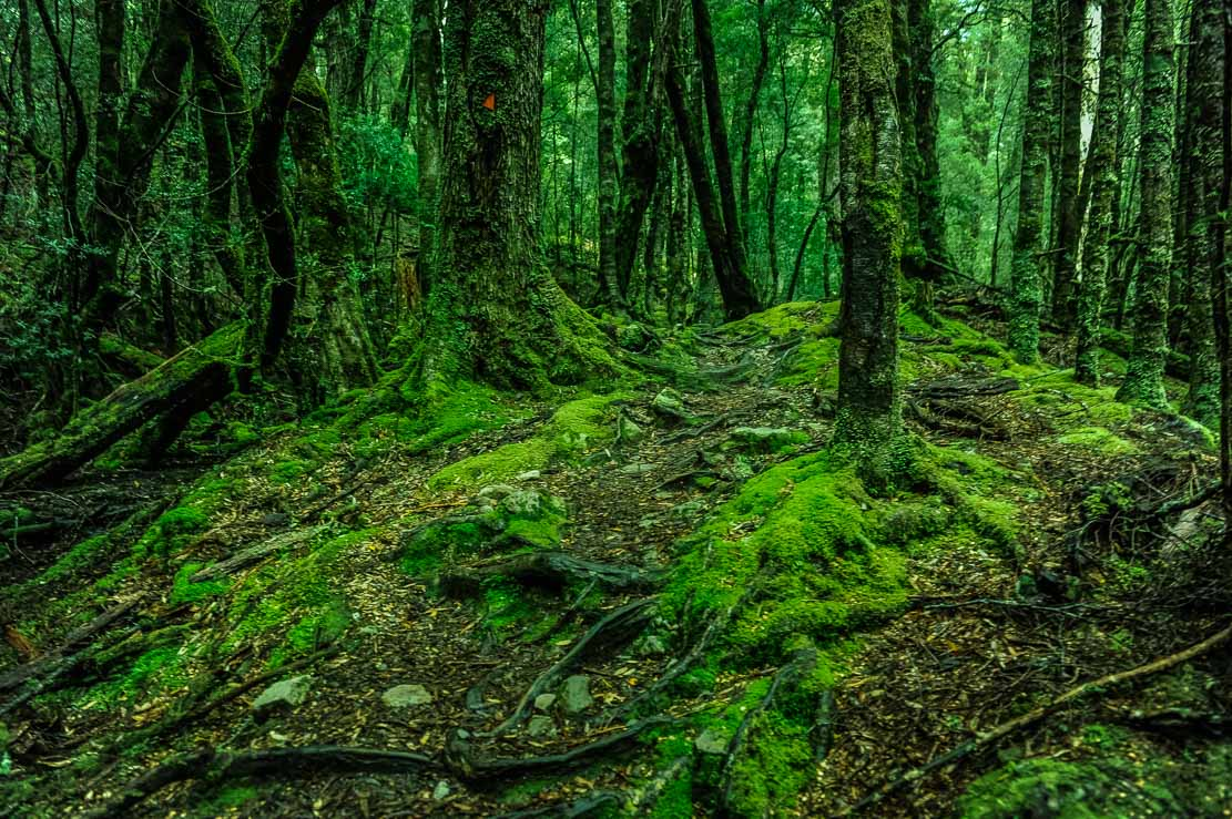 Walking through thick, moss-covered forest from Pine Valley Hut to Narcissus Hut