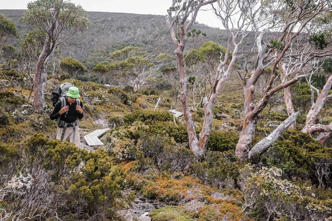 On Day 2 of Overland Track, we walk through forests with myrtle trees, Tasmanian snow gums, deciduous beech trees, old pencil pines, and tropical pandanus