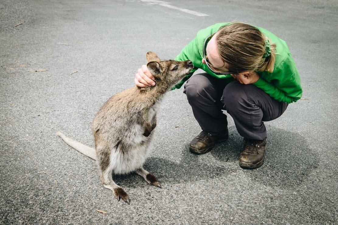 Friendly wallabies in Freycinet National Park in Tasmania